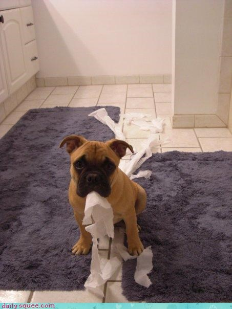 boxer busted puppy - 3745649664