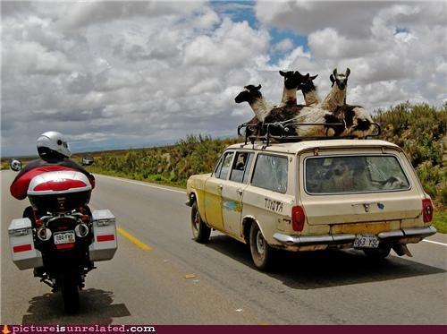 llamas ride shaggin wagon stationwagon wtf - 3756359168
