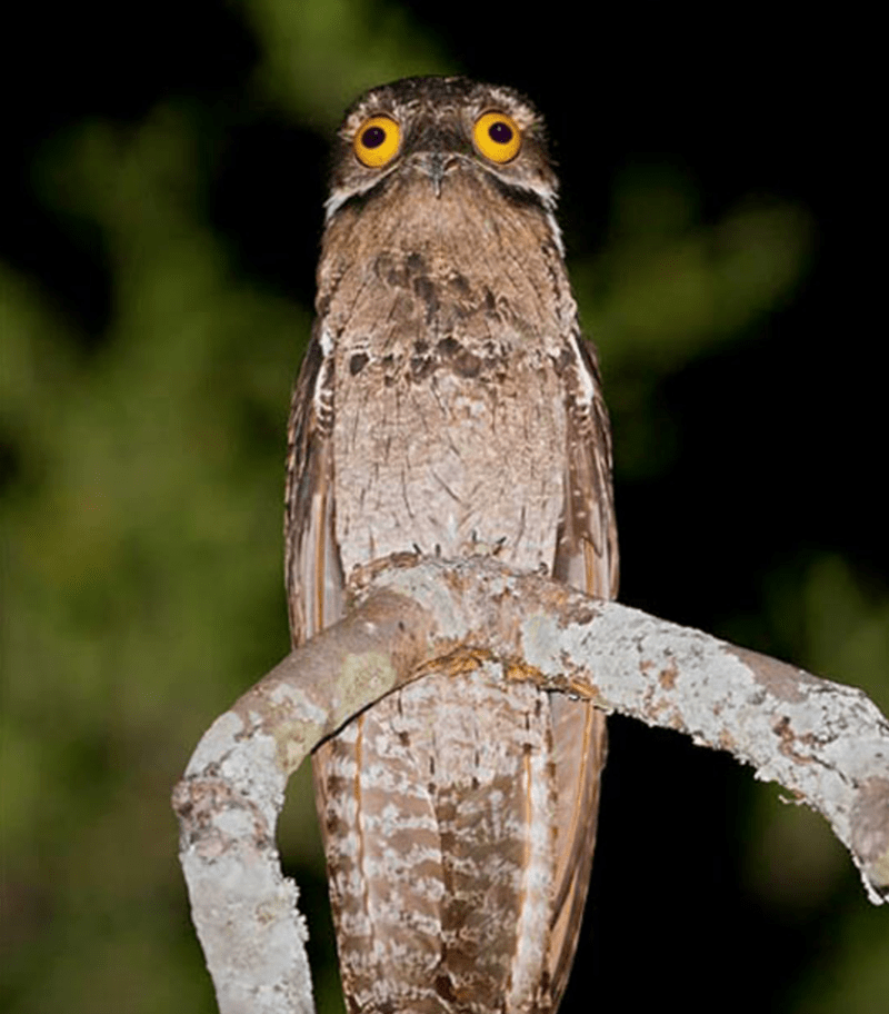 potoo the terrifying looking bird