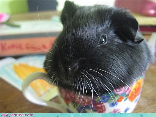 fat,guinea pig,squee spree
