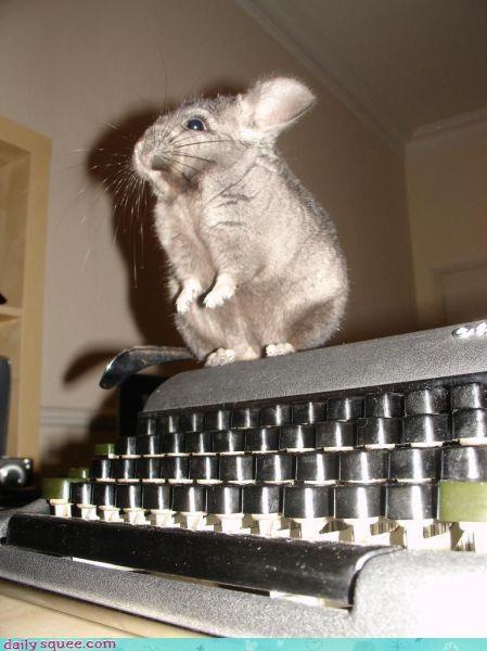 chinchilla cute nerd jokes - 3771709184