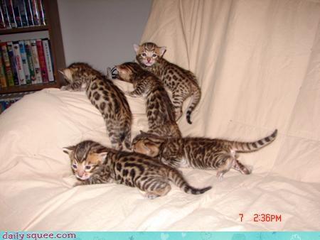 bengal cat face kitten - 3774071808