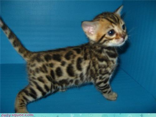 bengal cat kitten squee spree - 3774075648