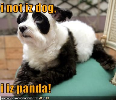 cute disguise mixed breed panda whatbreed - 3775102720