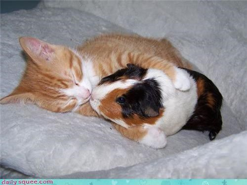 group hug guinea pig kitten - 3775546368