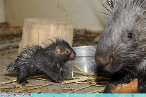 cute,porcupine,weirdo