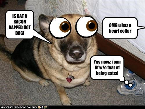 IS DAT A BACON RAPPED HOT DOG! Cleverness Here OMG u haz a heart collar Yes nowz i can lif w/o fear of being eated