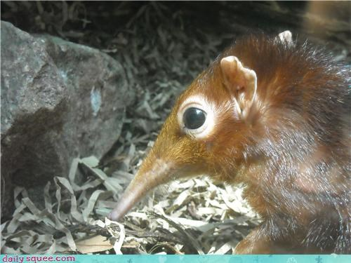 elephant shrew,shrew,whatsit