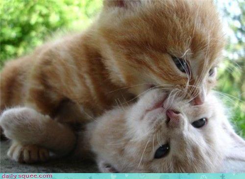 kitten love twilight - 3779312128
