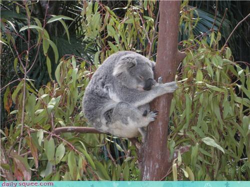 bear,hug,koala