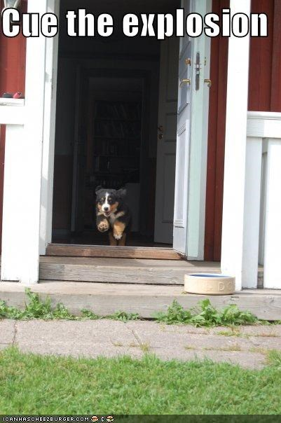 burmese mountain dog explosion puppy - 3793314048