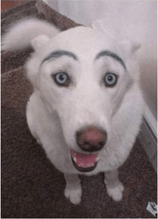 a cute photo of a dog with eyebrows