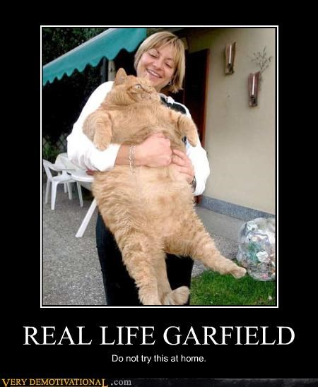 animals Cats comic garfield haha obesity Pure Awesome real life - 3797159936