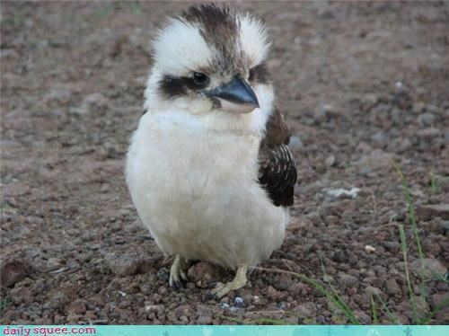 bird floof kookaburra - 3801013760