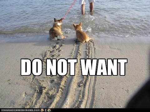 beach,corgi,do not want,dragging,sand,swimming