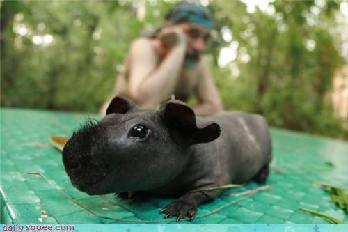 guinea pig rhino whatsit wednesday - 3804610304
