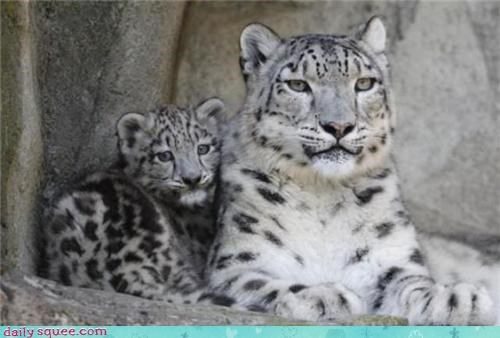 cat cub snow leopard - 3804610816