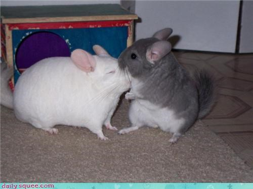 boop chinchillas Every time I talk about chinchillas on here someone gets mad - 3805029376