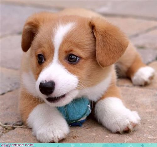 corgi dogs puppy - 3808526848