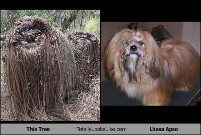 animals,dogs,lhasa apso,tree