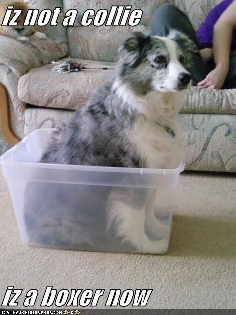 austrailian shepard box dogs - 3820729088