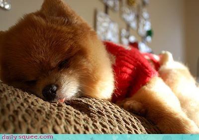 pom pomeranian sleepy - 3829346816