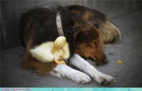 dogs,duck,sleep