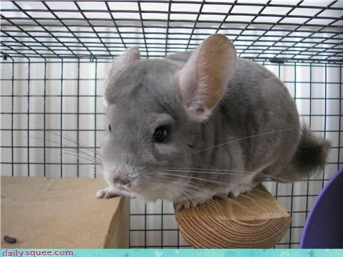 chinchilla floof squee spree - 3834661888