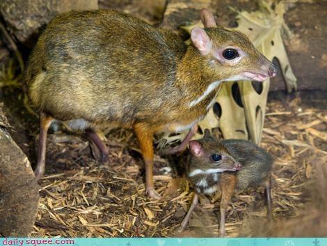 mouse deer tiny whatsit - 3838470144