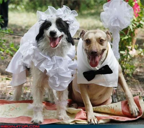 bride doggy bride doggy groom doggystyle dogs dressed up dogs getting married fashion is my passion funny dog picture funny wedding photos groom happy-mlk-day surprise technical difficulties were-in-love wtf - 3843543552