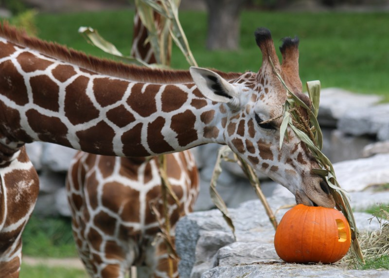 Zoo Animals having fun with pumpkins