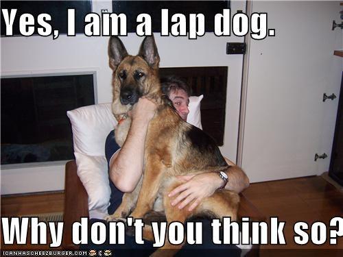 big doubt german shepherd lap dog squishing - 3849146880