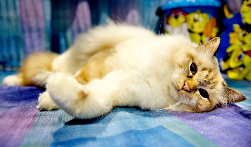 pretty pictures from the supreme cat show