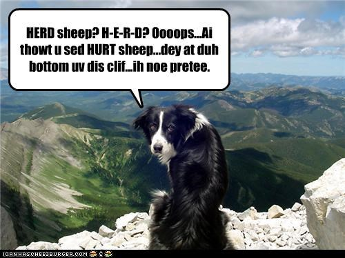 HERD sheep? H-E-R-D? Oooops...Ai thowt u sed HURT sheep...dey at duh bottom uv dis clif...ih noe pretee.