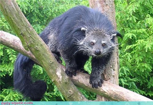 binturong,binturong smells like popcorn,nerd jokes