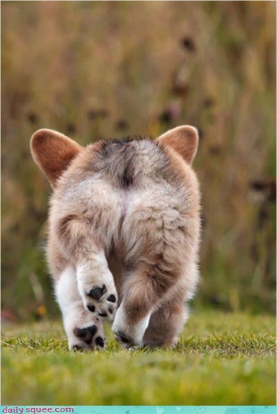 butt corgi floof - 3856650752