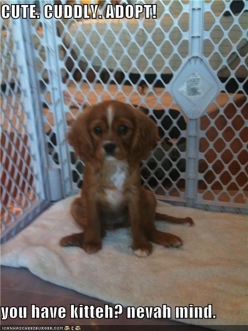 adoption,kitty,mixed breed,nevermind,puppy,spaniel