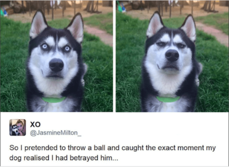 a funny pic of a husky being betrayed, list of a few pets that feel betrayed
