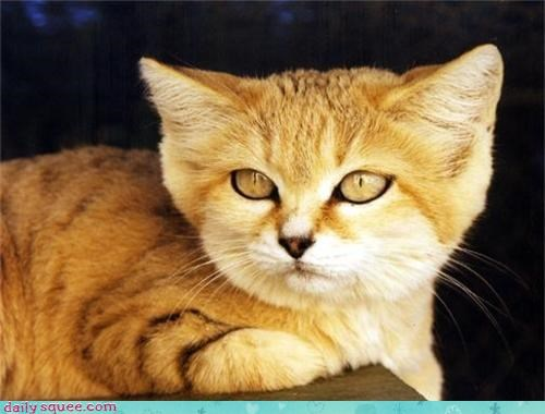 sand cat,squee spree,trivia