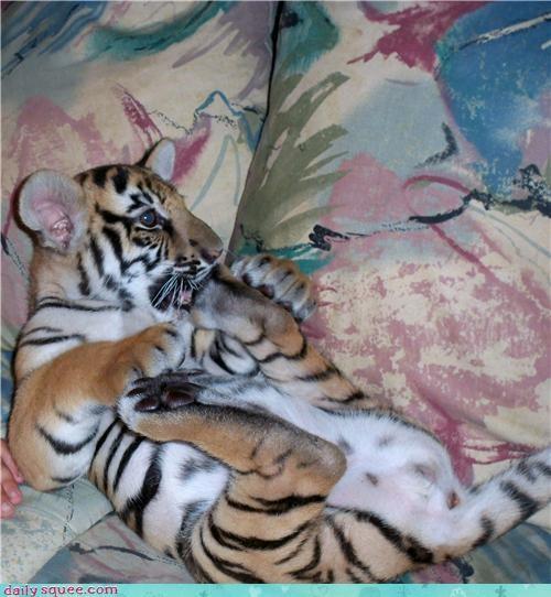 cub,tiger,toe