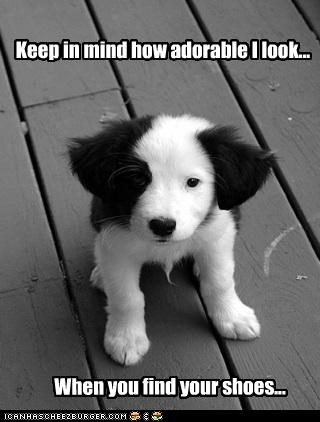 adorable,border collie,Hall of Fame,keep in mind,mischief,puppy,shoes