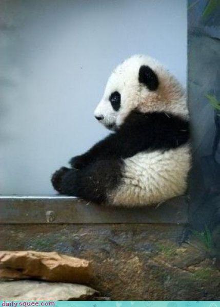 baby grumpy panda - 3873294080