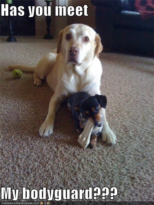bodyguard,dachshund,meeting,protection