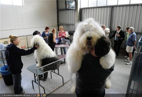 cute demanding giant dog hugs old english sheepdog - 3874176256