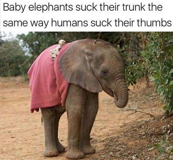 funny elephant memes for people to enjoy