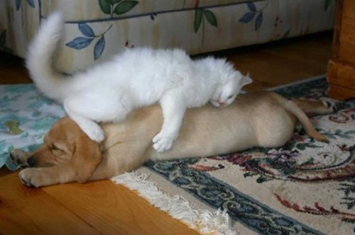Pillow dogs nap list BFFs Cats - 387845
