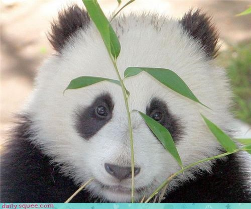 boopable noms panda - 3879918592