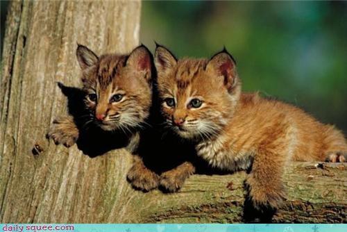 cat kitten twins - 3879919104
