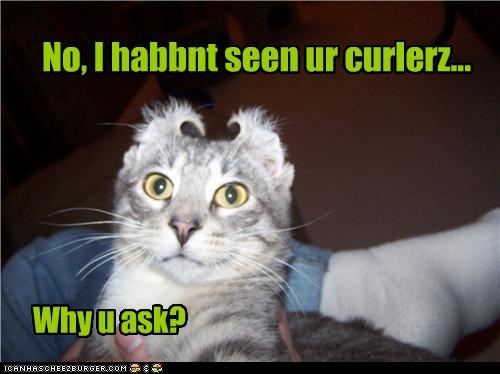 caption captioned cat curlers ears havent-seen-them why-you-ask - 3883854336