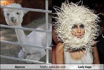 alpaca,lady gaga